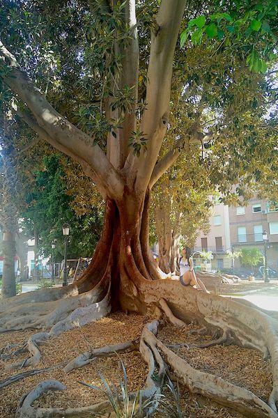 Uma das enormes árvores do Jardim Floridablanca. Murcia